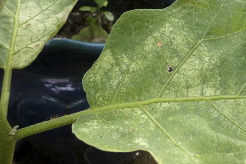 Эффективные меры борьбы с паутинным клещом на баклажанах в теплице - отзывы огородников и агрономов, вред от паразитов