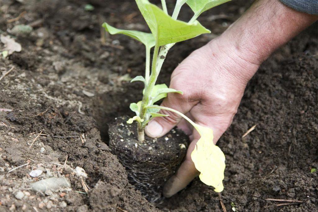 Эффективные меры борьбы с паутинным клещом на баклажанах в теплице - отзывы огородников и агрономов, признаки заражения рассады