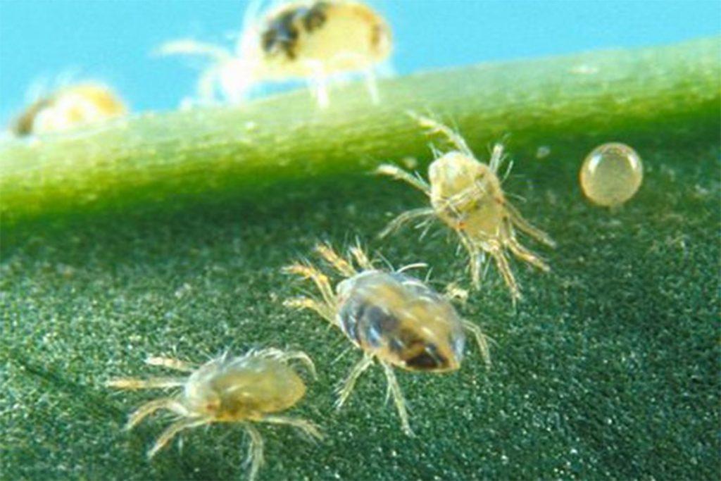 Как бороться с паутинным клещом на смородине – обработка, препараты, народные средства, отзывы садоводов и агрономов, цикл развития