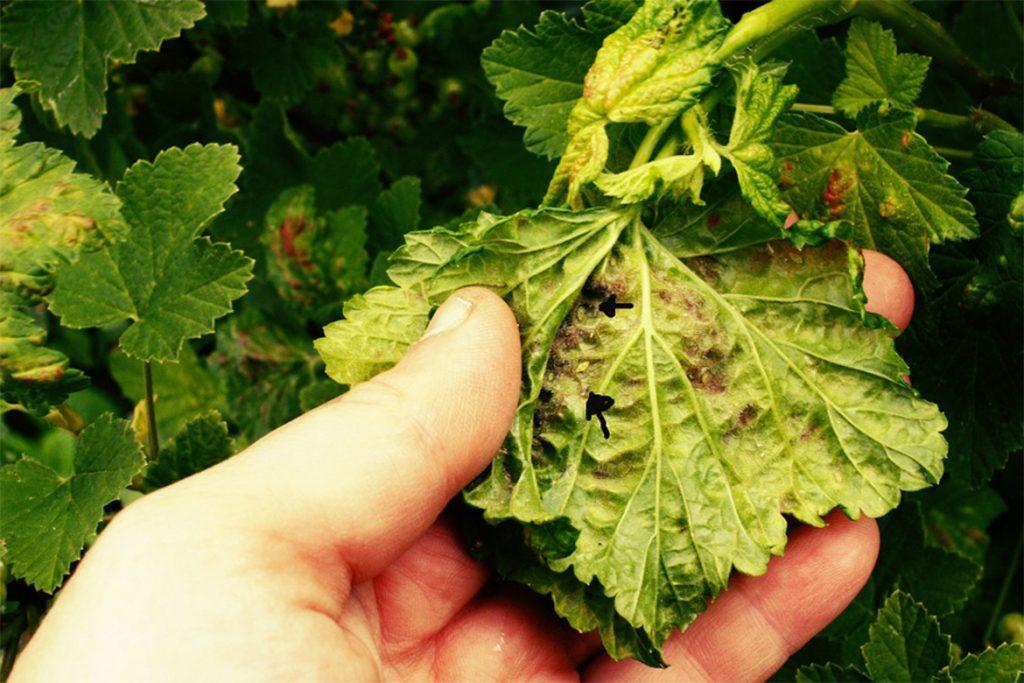Как бороться с паутинным клещом на смородине – обработка, препараты, народные средства, отзывы садоводов и агрономов, обработка весной
