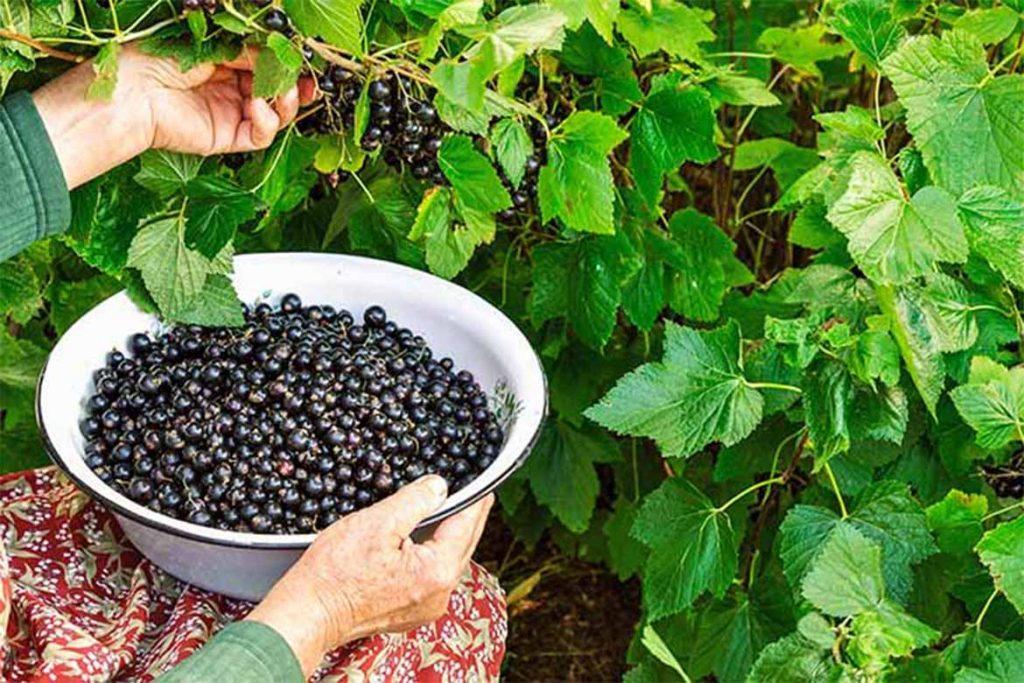 Как бороться с паутинным клещом на смородине – обработка, препараты, народные средства, отзывы садоводов и агрономов, сбор урожая