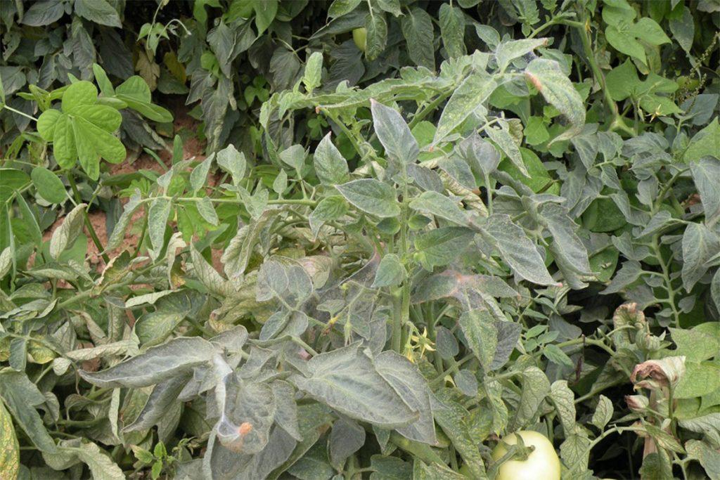 Клещи в теплице – что делать, если паутинный клещ завёлся в теплице – как спасти растения, как избавиться от паразита, чем опасен
