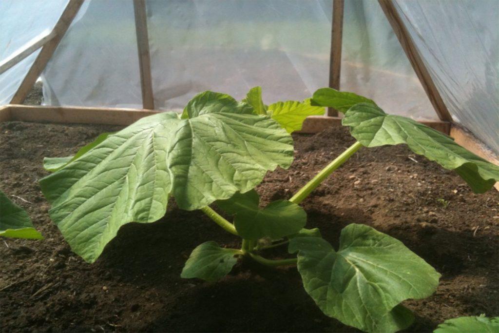 Клещи в теплице – что делать, если паутинный клещ завёлся в теплице – как спасти растения, как избавиться от паразита, профилактика