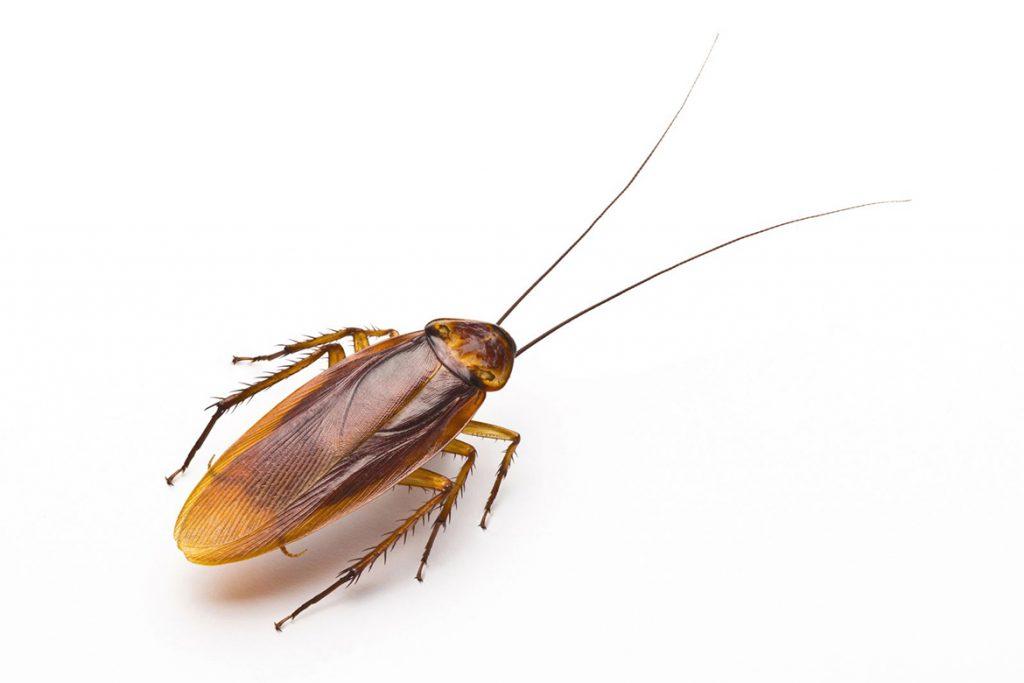 10 способов, как избавиться от домашних тараканов в квартире раз и навсегда в домашних условиях, как выглядят рыжие тараканы