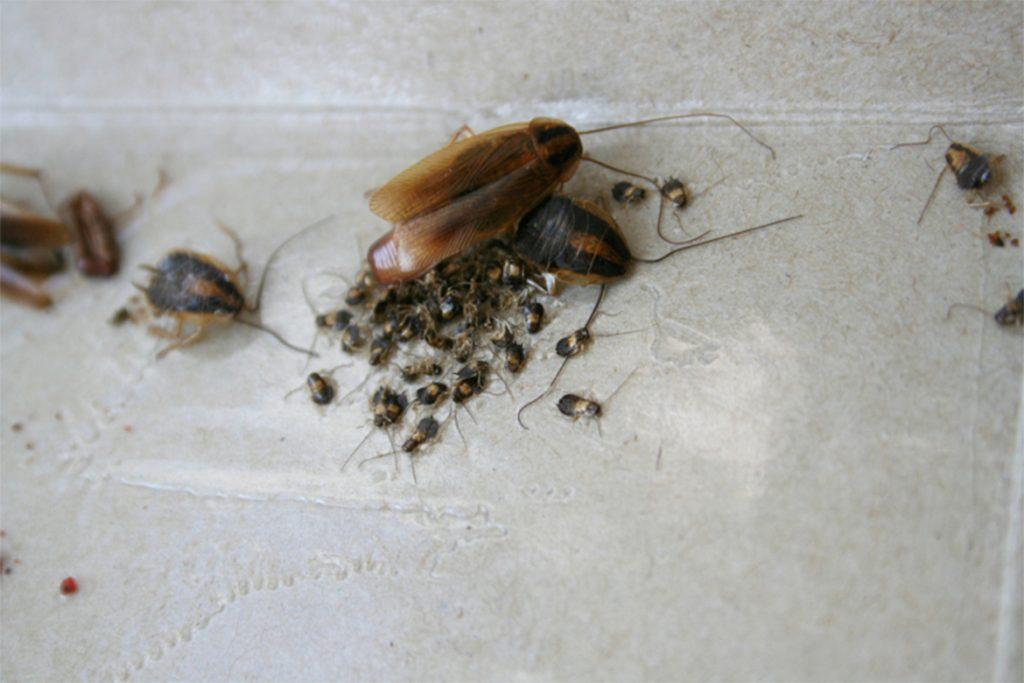 10 способов, как избавиться от домашних тараканов в квартире раз и навсегда в домашних условиях, почему их больше после травли
