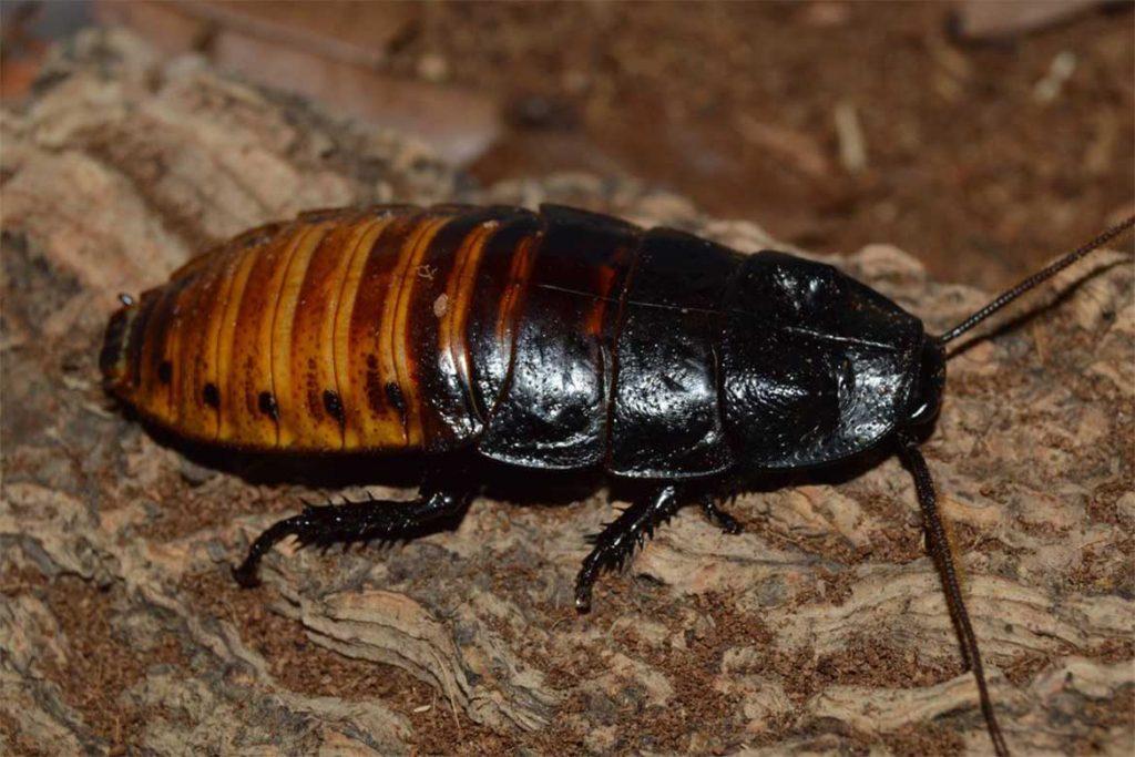 Большие и огромные тараканы, проживающие на земле – как выглядят (фото), главные особенности мадагаскарские шипящие