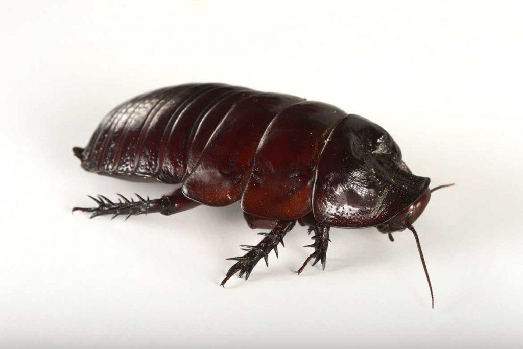 Большие и огромные тараканы, проживающие на земле – как выглядят (фото), главные особенности австралийский таракан-носорог