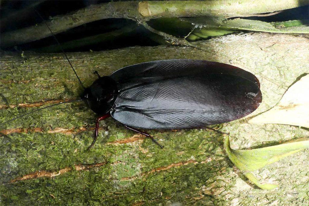 Большие и огромные тараканы, проживающие на земле – как выглядят (фото), главные особенности Megaloblatta blaberoides