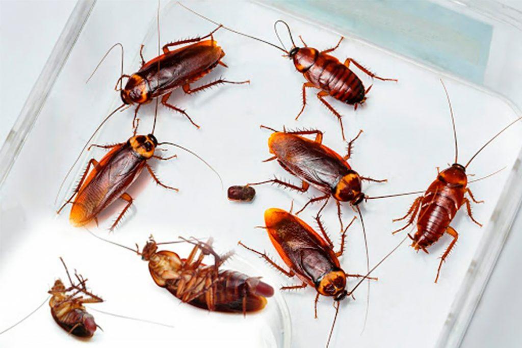 25 видов тараканов рыжие мелкие