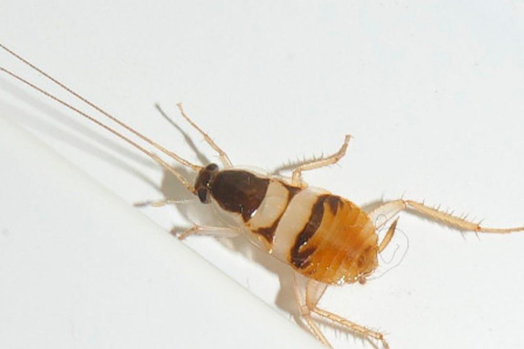 25 видов тараканов мебельные полосатые