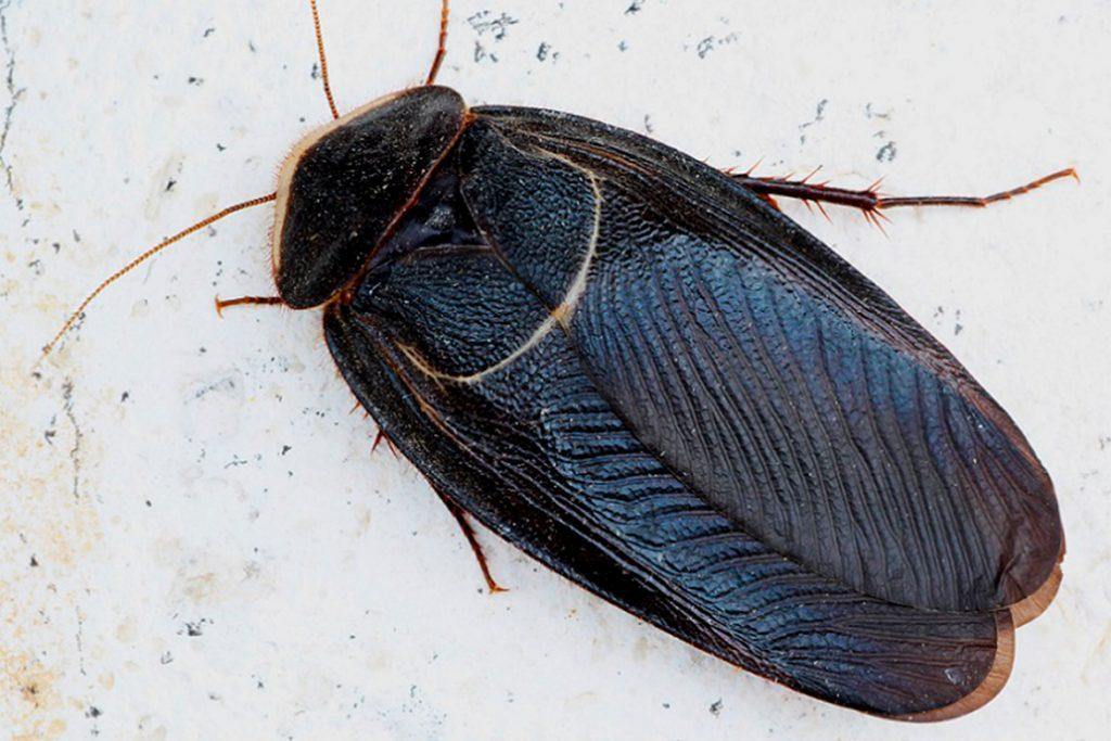 25 видов тараканов Египетский таракан