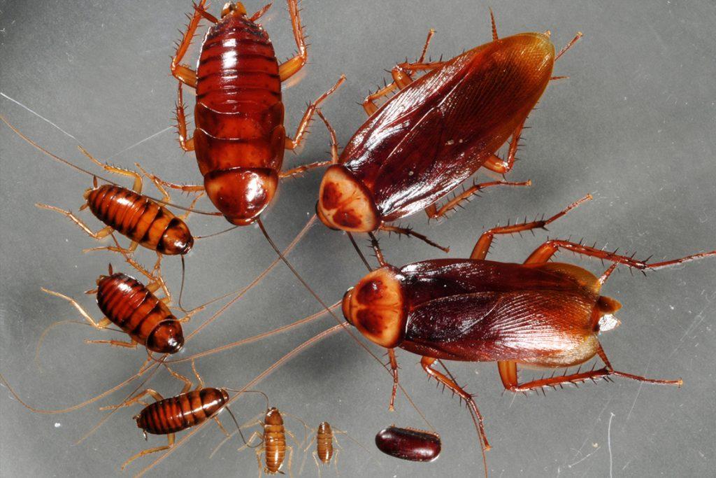 Научная классификация и систематика Американского таракана