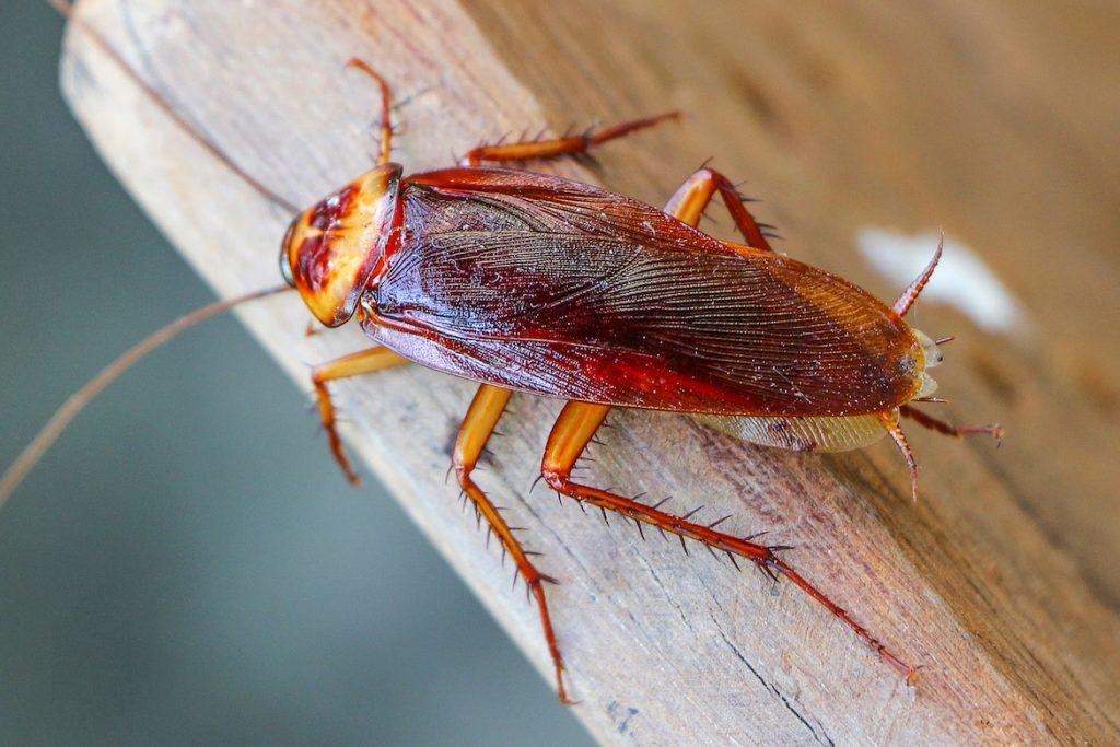 Американский таракан он же африканский ареал обитания насекомых