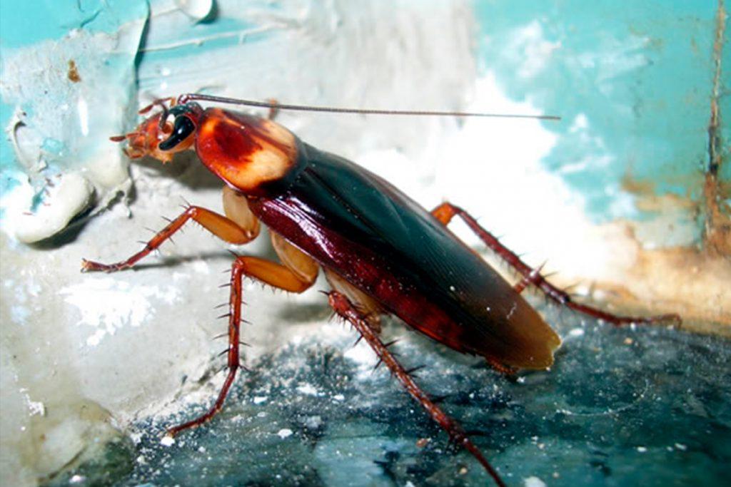 Американский таракан он же африканский чем питается