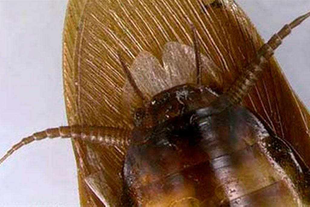 Американский таракан он же африканский цикл превращения неполный, как и у многих синантропных насекомых