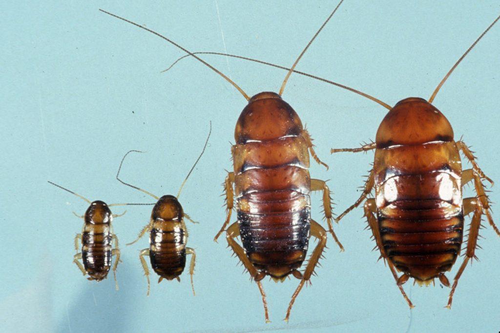 Американский таракан он же африканский научная классификация и систематика
