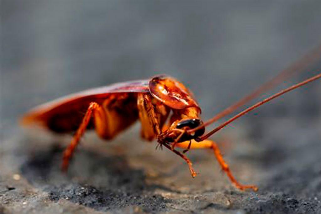 Американский таракан он же африканский Как выглядят Американские тараканы