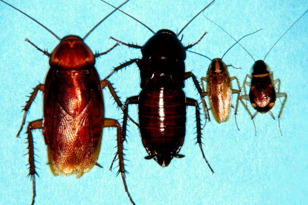 Американский таракан он же африканский самки и самцы