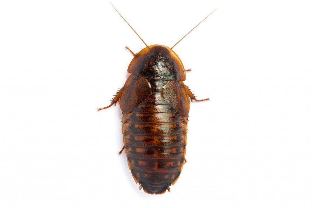 Аргентинский таракан фото