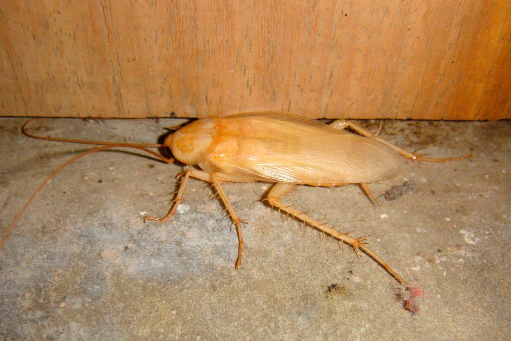 Белый таракан Альбинос в квартире