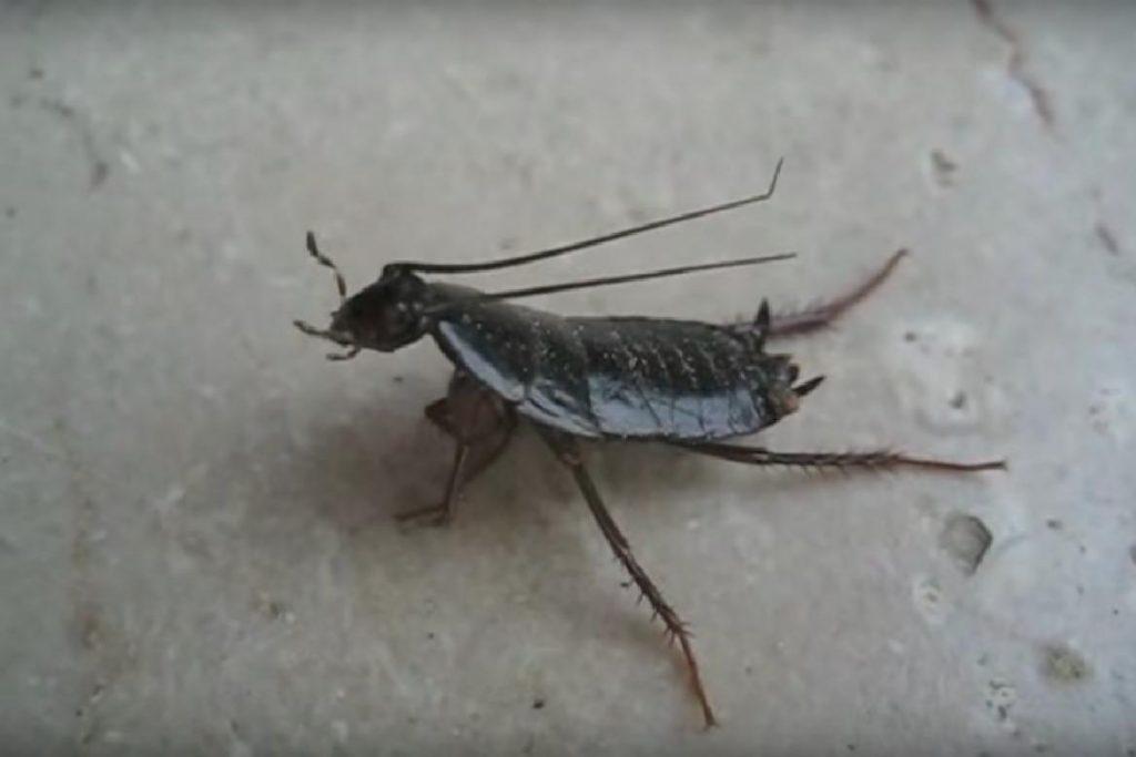 Черный таракан вентиляция и шахты