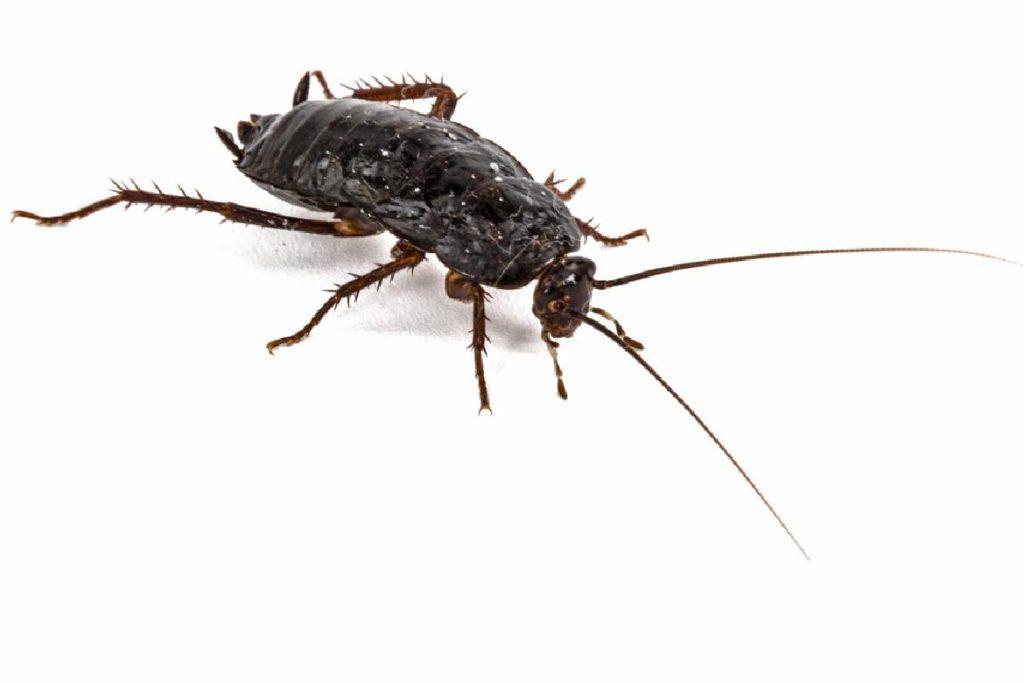 Черный таракан как выглядит