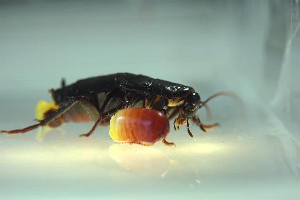 Черный таракан размножение