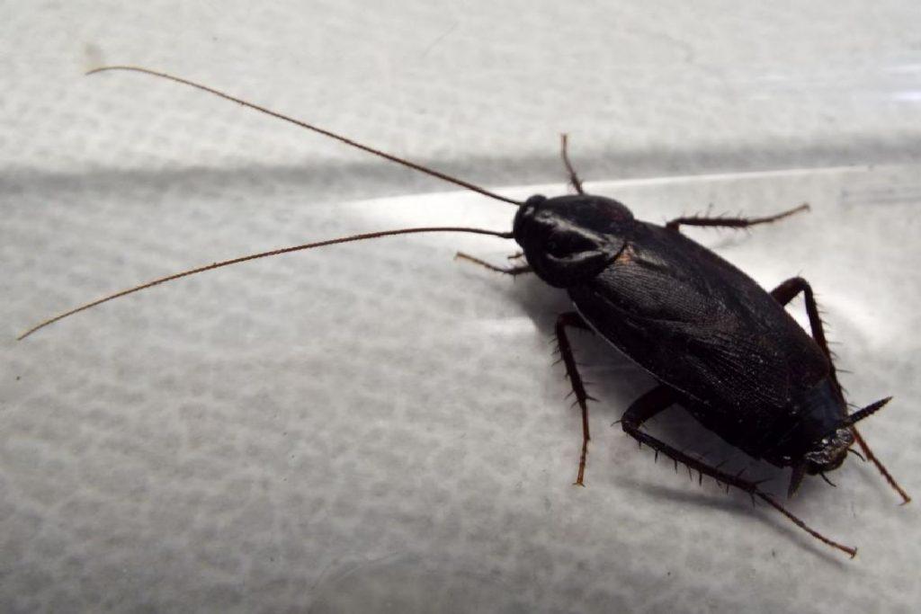 Черный таракан тараканы более опасны в домашних условиях