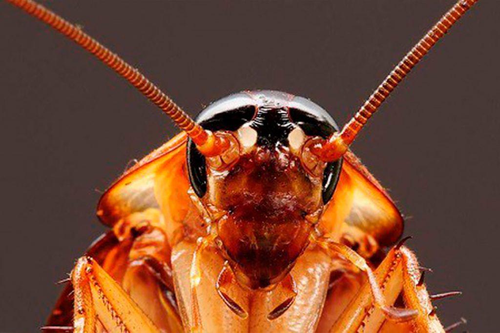 Чудо природы или закономерность таракан без головы может жить сколько и почему не умирает дыхательная система