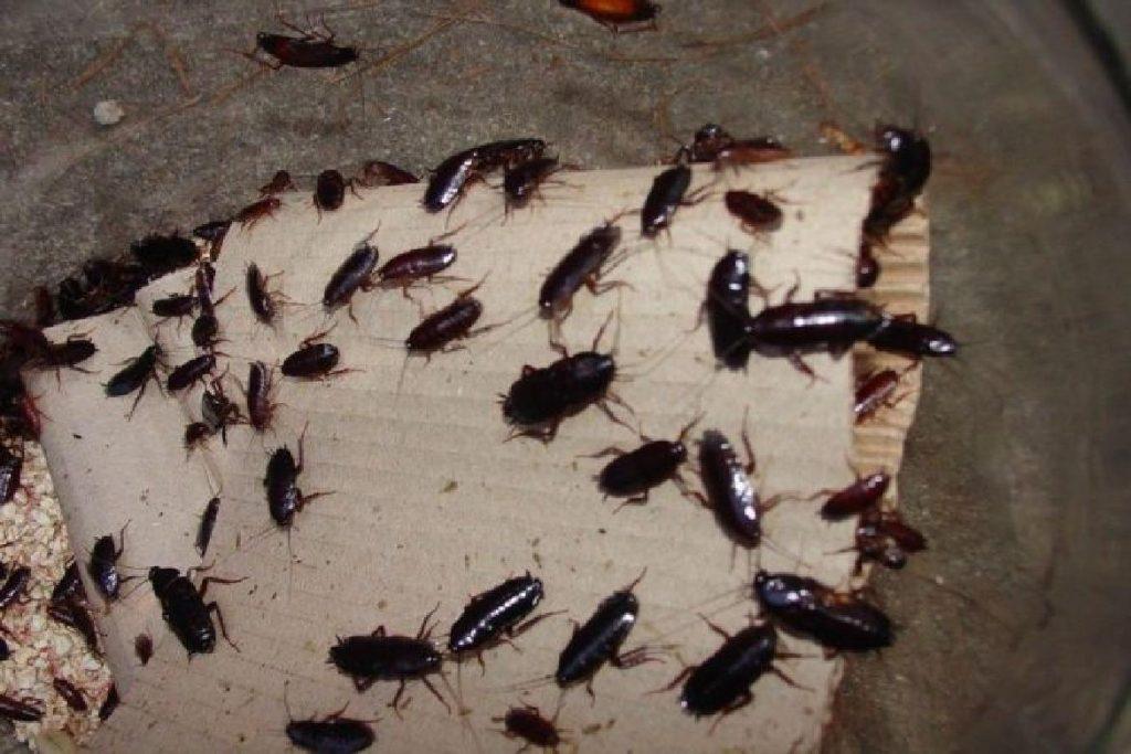 Чёрные канализационные тараканы Опасность проживания рядом с тараканами