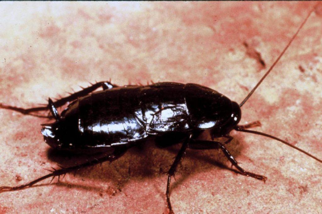 Чёрные канализационные тараканы Черные тараканы заселяют канализационные системы