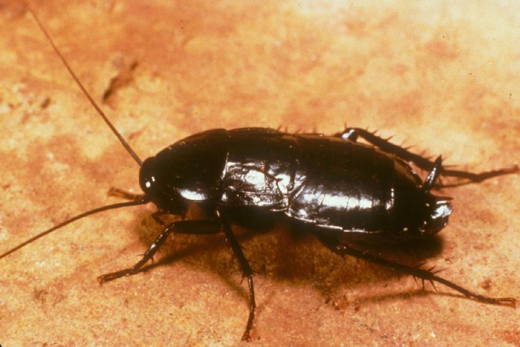 Чёрные канализационные тараканы как избавиться в домашних условиях