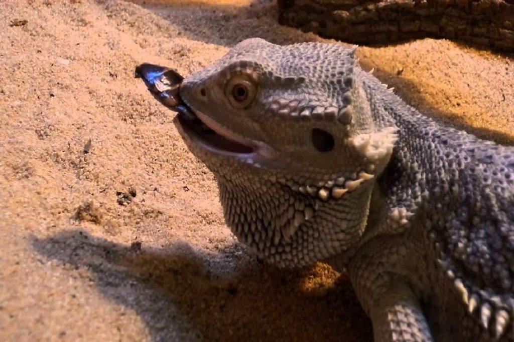 Мадагаскарский шипящий таракан враги