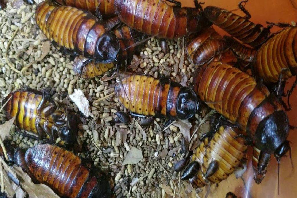 Мадагаскарский шипящий таракан пища