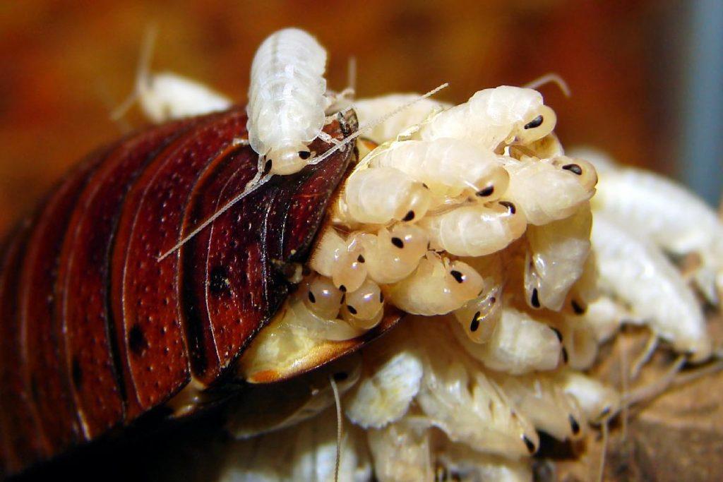 Мадагаскарский шипящий таракан потомство