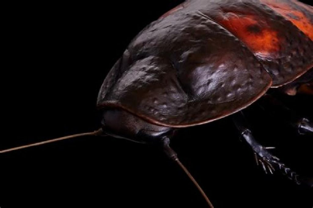 Мадагаскарский шипящий таракан цены