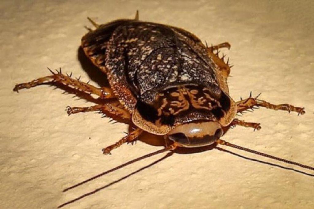Мраморные тараканы еда для домашних рептилий и пауков инсектарий его особенности для большого потомства