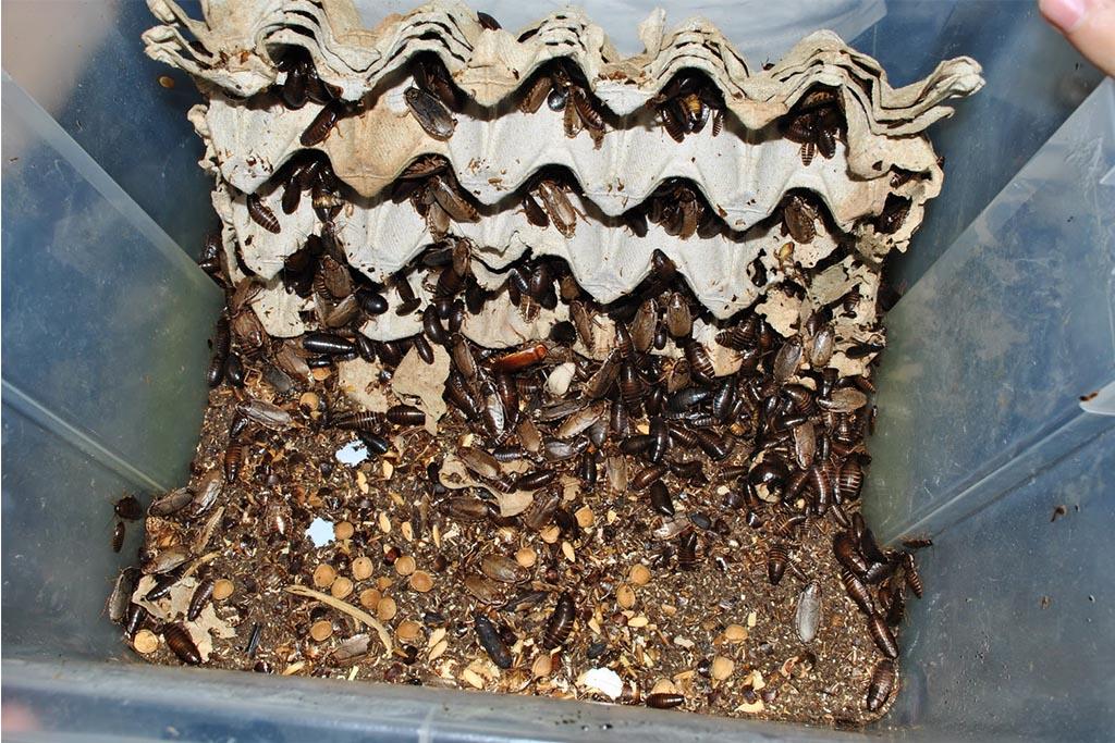 Мраморные тараканы – еда для домашних рептилий и пауков, разведение и содержание в домашних условиях 01