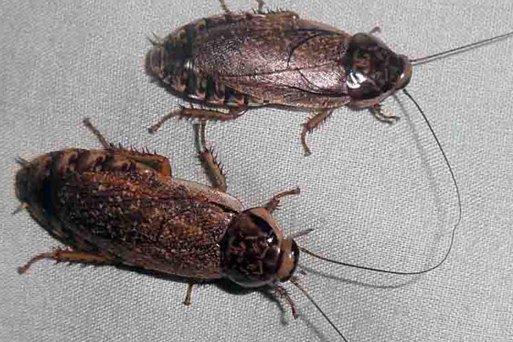 Мраморные тараканы – еда для домашних рептилий и пауков, разведение и содержание в домашних условиях 02