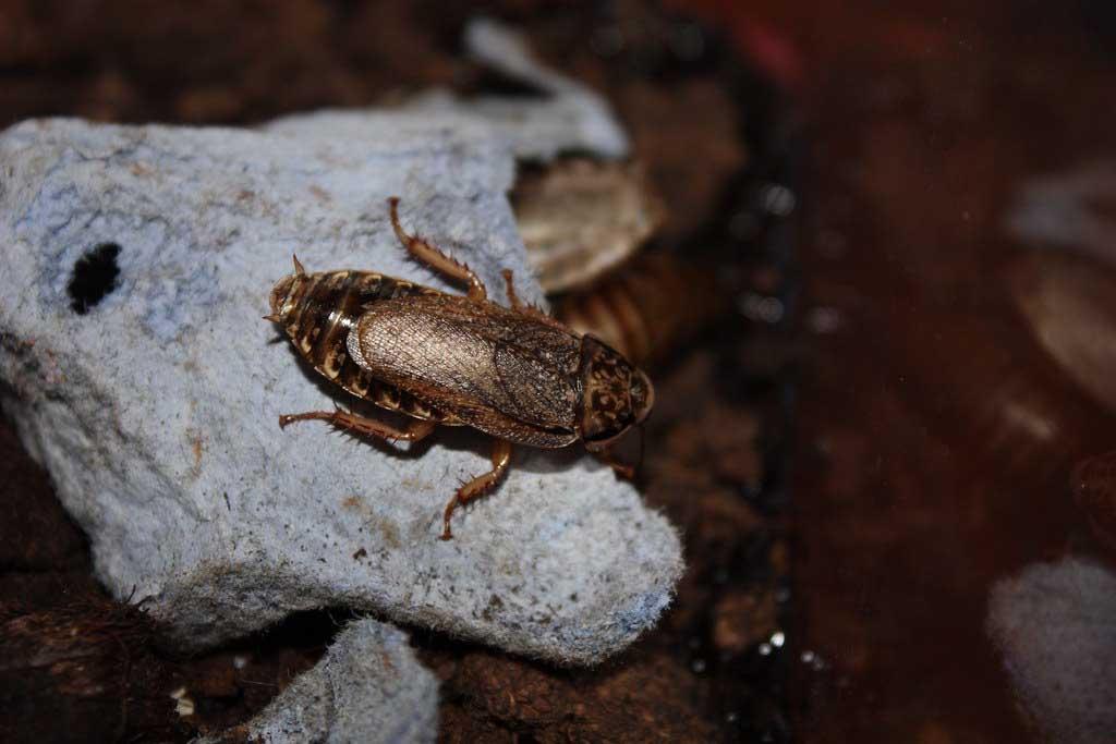 Мраморные тараканы – еда для домашних рептилий и пауков, разведение и содержание в домашних условиях 03