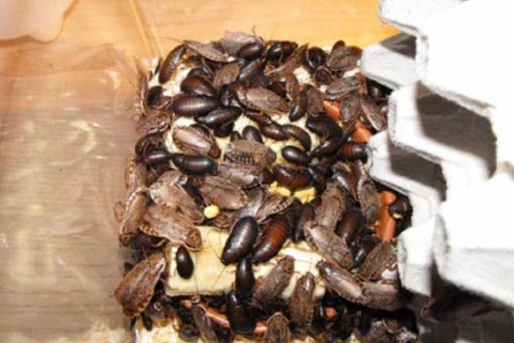 Мраморные тараканы – еда для домашних рептилий и пауков, разведение и содержание в домашних условиях 05