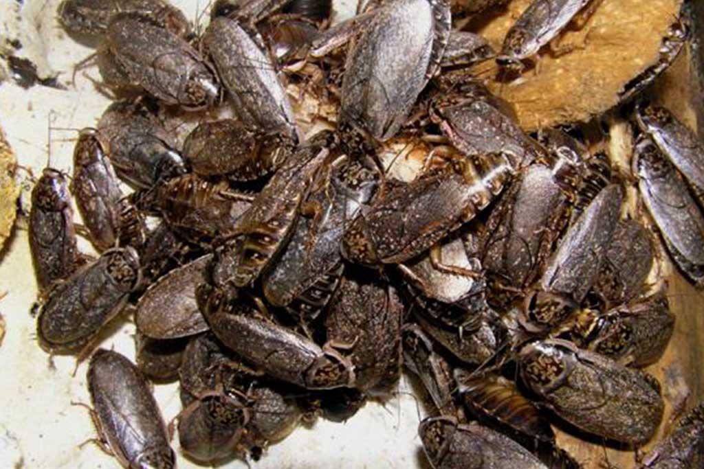 Мраморные тараканы – еда для домашних рептилий и пауков, разведение и содержание в домашних условиях 09