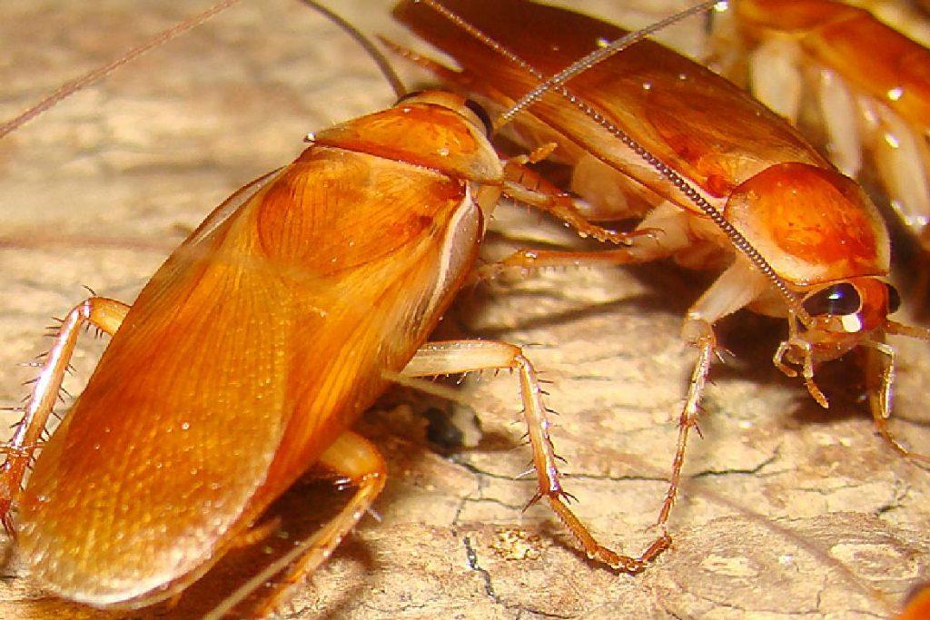 Туркменский таракан Shelfordella tartara