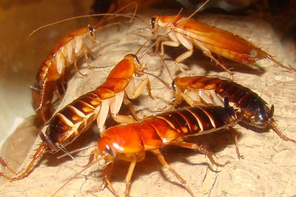 Туркменский таракан крупным планом