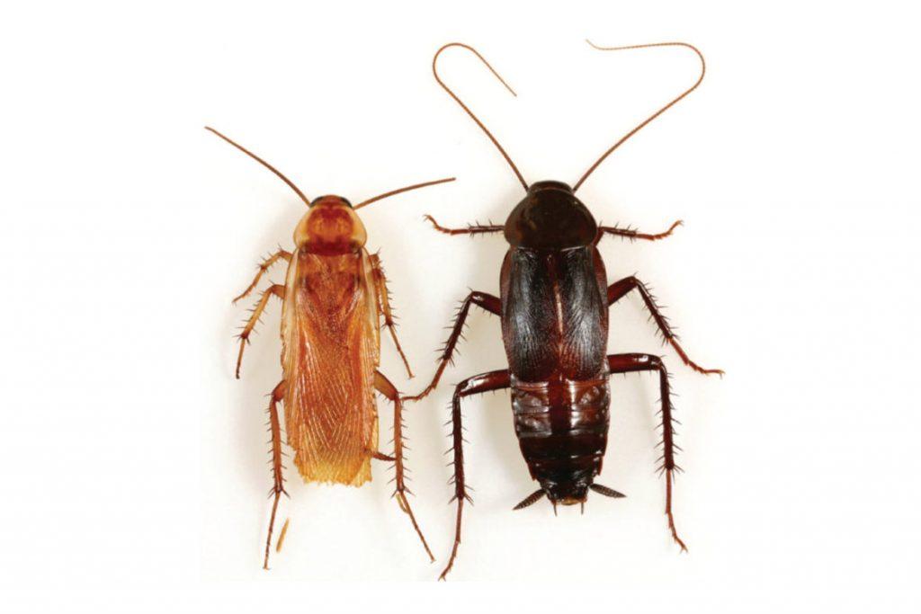 Черные и рыжие тараканы  в чем отличие
