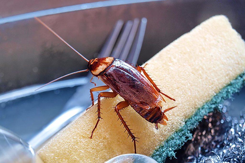 Что делать, если тараканы завелись в микроволновке – пошаговый алгоритм обработки бытовой техники, американский паразит