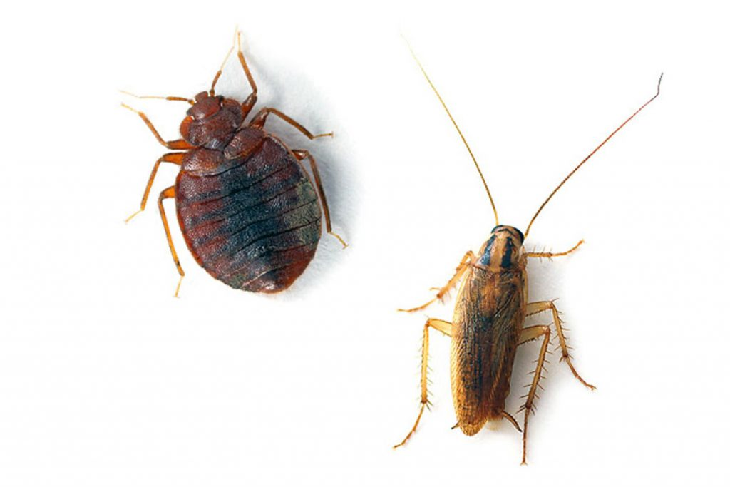 Едят ли тараканы клопов и их яйца введение