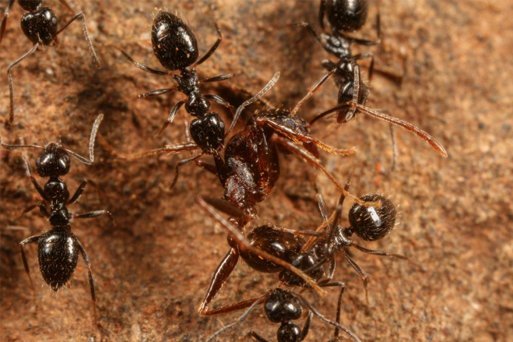 Естественные враги тараканов муравьи