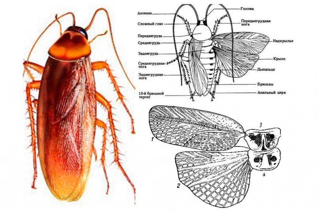Как выглядит таракан схема