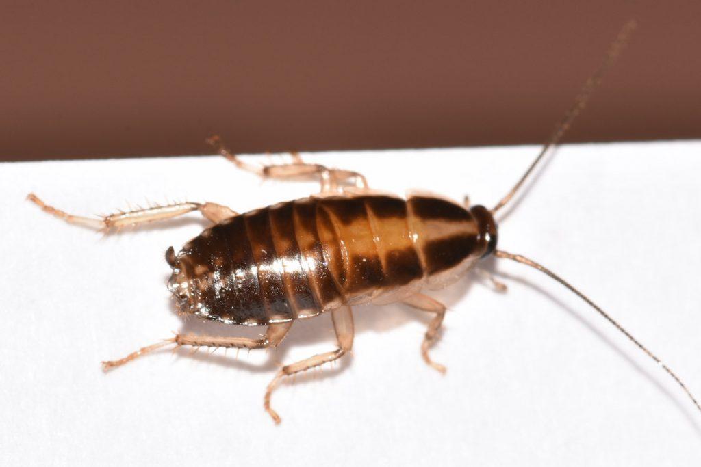 Как выглядят маленькие тараканы в квартире как выглядят